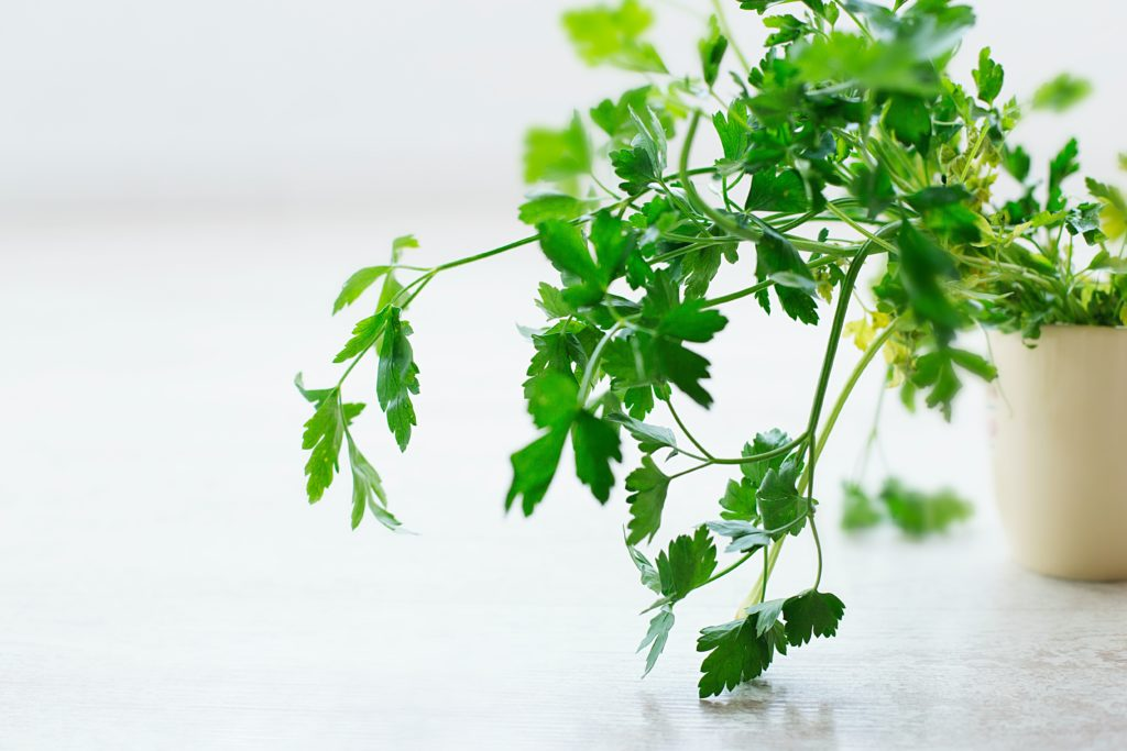 Parsley plant growing in a small ceramic pot indoors.