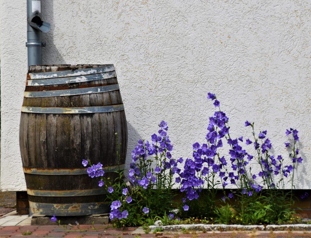 Wooden rain barrel next to purple flowers.